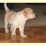 Integrity Farm Labrador Retriever Pups